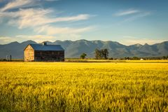 Summer sunset with an old barn and a rye field in rural Montana Stock Image
