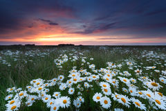 Summer sunset over chamomile field Stock Image