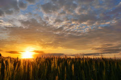 Summer sunset over a field. Bright summer sunset and green wheat field Royalty Free Stock Photography