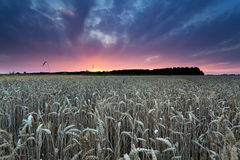 Summer sunset over wheat field Stock Photos