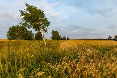 Summer sunset over wheat field Royalty Free Stock Image
