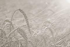 Summer sunset texture barley Royalty Free Stock Photo