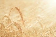 Summer sunset texture barley Royalty Free Stock Photos