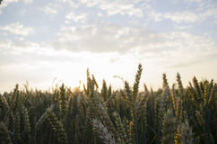 Summer sunset, wheat field spikes Stock Photography