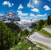Summer sunshiny Stelvio Pass Italy. Summer sunshiny Stelvio Pass with fir forest and  snow on mountain top Italy. Two shots stitch image Royalty Free Stock Photos