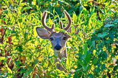 Summer Swamp Whitetail Buck. Royalty Free Stock Photography