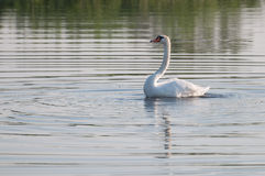 Summer swan reflection on the lake's surface Stock Images
