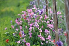 Summer Sweet Peas Stock Photo