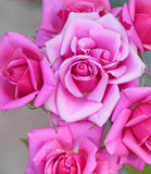 Summer sweet pink roses Royalty Free Stock Photos
