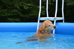 Summer swim with the dog Stock Image