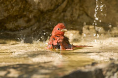 Summer Tanager bathing. A Summer Tanager bathing in a pool of water Stock Photos