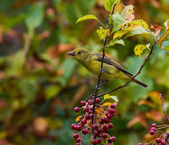 Summer Tanager Royalty Free Stock Image