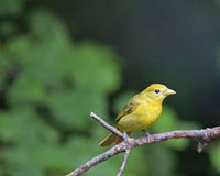 Summer Tanager 3 Stock Photo