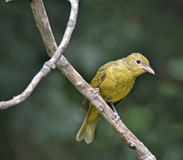 Summer Tanager Stock Photos