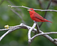 Summer Tanager Royalty Free Stock Images