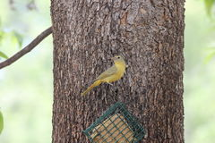 Summer Tanager Stock Images