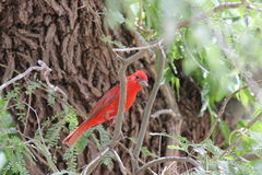Summer Tanager Royalty Free Stock Photo