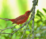 Summer Tanager Stock Photography