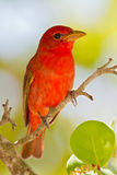 Summer Tanager (Piranga rubra). Adult male Summer Tanager perched on small branch Royalty Free Stock Image