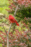 Summer Tanager Royalty Free Stock Photography