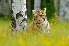 Summer with tiger, hidden in grass. Tiger with pink and yellow flowers. Siberian tiger in beautiful habitat. Amur tiger sitting in. The grass stock image
