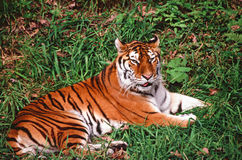 Summer Tiger Relaxation Royalty Free Stock Photos