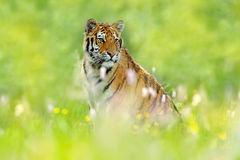 Summer with tiger. Tiger with pink and yellow flowers. Siberian tiger in beautiful habitat. Amur tiger sitting in the grass. Flowe. Summer with tiger. Tiger with Royalty Free Stock Photography