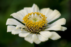 Summer time beautiful daisy-flower Royalty Free Stock Photography