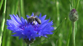 Summer time bee on cornflower stock video footage