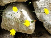 Summer time dandelion in the wild under beautiful sun rays. stock photography