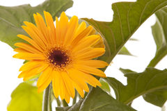 Summer time flower - gerbera. A yellow  summer time isolated gerbera with green leaf Stock Image