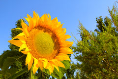 Summer time flowers. Sunflower. Sunflower in the summer. Sunny day Royalty Free Stock Photos