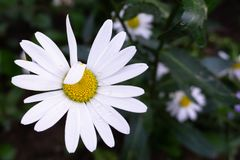 Chamomile. Divination like or dislike royalty free stock images