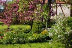 flowering decorative apple tree with dark pink flowers royalty free stock image