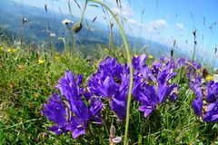 Purple Mountain bells in background Valley and the sky above. Summer time, late June, early July. Mountain peak in Montenegro. Beautiful purple flowers in the Royalty Free Stock Image