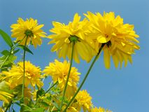 Summer time sky. Yellow flowers on a blue sky background stock photography
