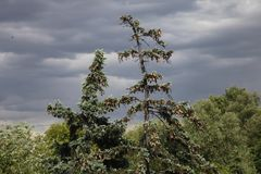 Fir-tree with cones against the background of thunderclouds. Summer time. soon  thunder will come nature prepares for the storm Royalty Free Stock Photo
