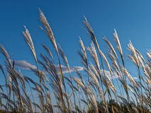 Summer time spikes. Front of blue sky royalty free stock photo