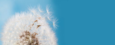 Summer time still life photo with fluffy dandelion flower, flying seeds. Macro view natural plant on blue background Stock Photos