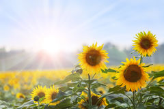 Summer time: Three sunflowers at dawn Royalty Free Stock Images