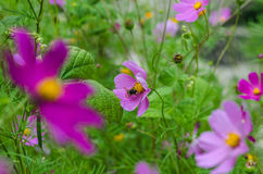 Summer time. Ukraine.Summer time.City nature.Bees and bumblebees are still alive royalty free stock photography