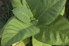Close up leaves of Nicotiana tabacum stock image