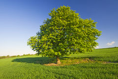 Summer Tree Royalty Free Stock Photo