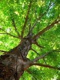 Summer Tree Royalty Free Stock Image