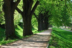 Summer tree alley. Alley with green summer trees in the park on a sunny day Royalty Free Stock Photography