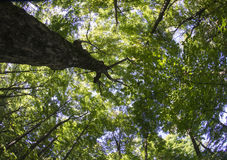 Summer Tree Canopy Shot With Fish Eye Lens Royalty Free Stock Image
