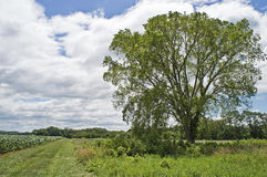 Summer Tree and Field Royalty Free Stock Photos