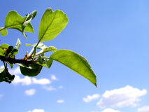 Summer tree leaf. Apple tree as far as I remember stock image