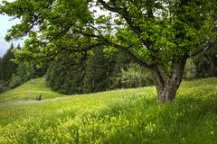 Summer tree in a meadow Stock Photography
