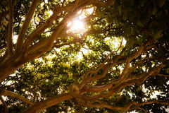 Summer tree with sun shining. Older tree with peculiar branches in the summer stock photography